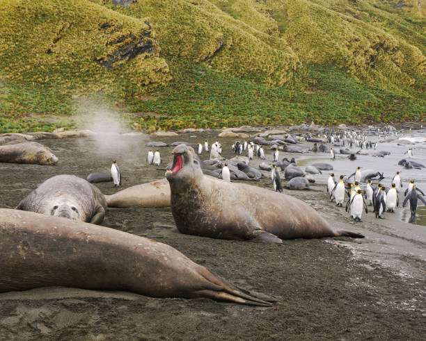 Large male southern elephant seal is roaring and steam is coming from its open mouth, while other seals lie nearby and a group of king penguins walk along the beach in the background. South Georgia Island. stock photo