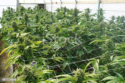 istock Large Marijuana Grow Operation, Commercial Cannabis Agribusiness Facility 587224068