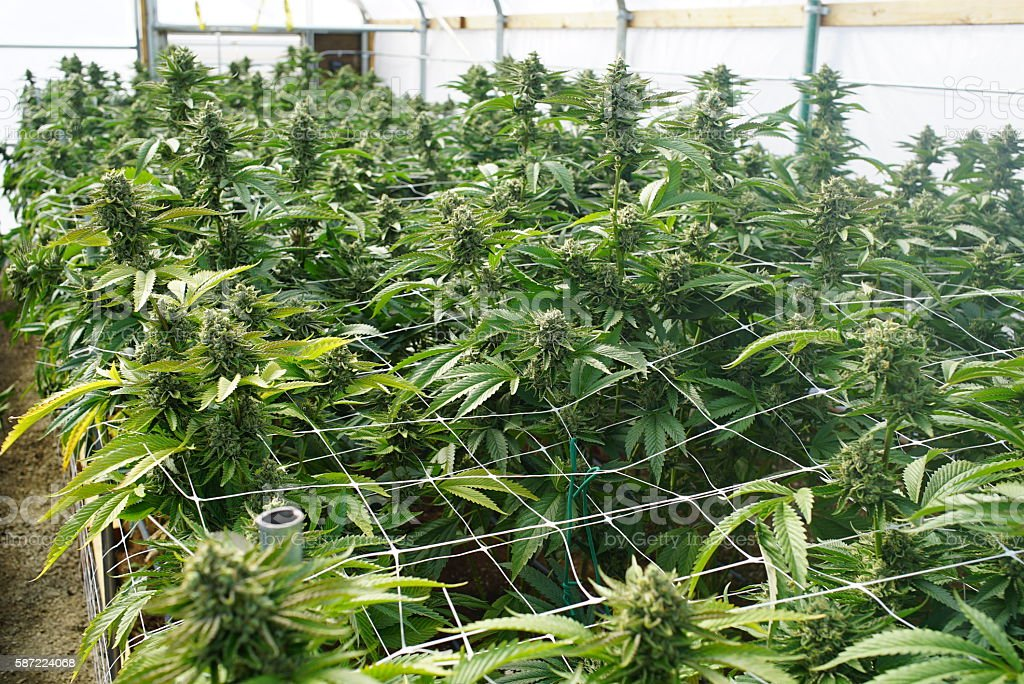 Large Marijuana Grow Operation, Commercial Cannabis Agribusiness Facility - foto de stock