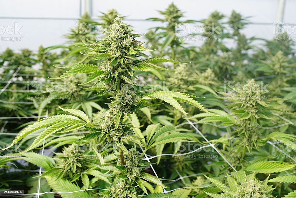 Large Marijuana Plants With Gigantic Colas Ready For Trimming Curing - foto de stock