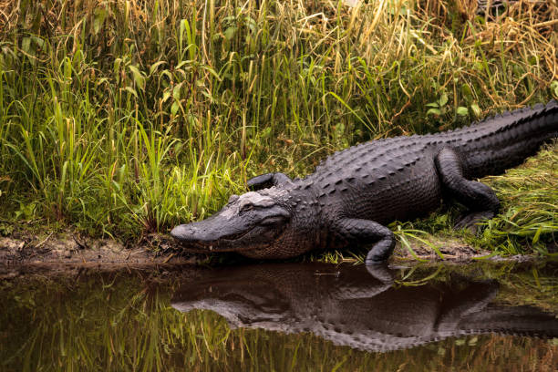 Large menacing American alligator Alligator mississippiensis stock photo