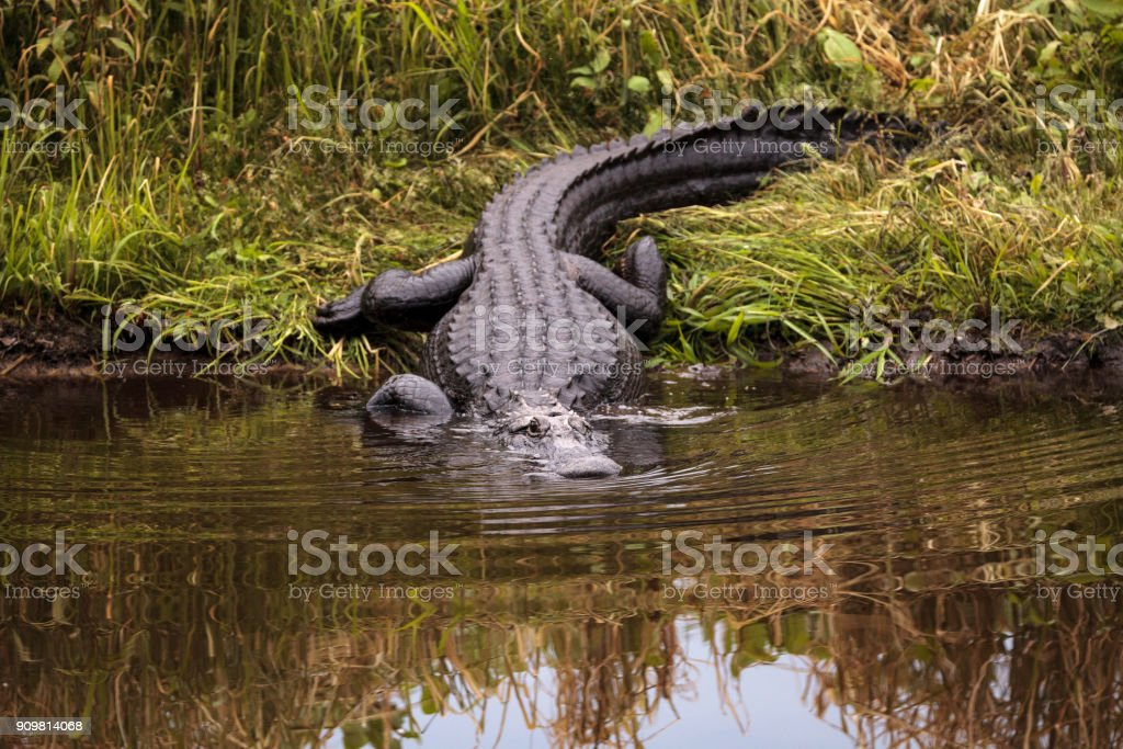 Large menacing American alligator Alligator mississippiensis stock photo