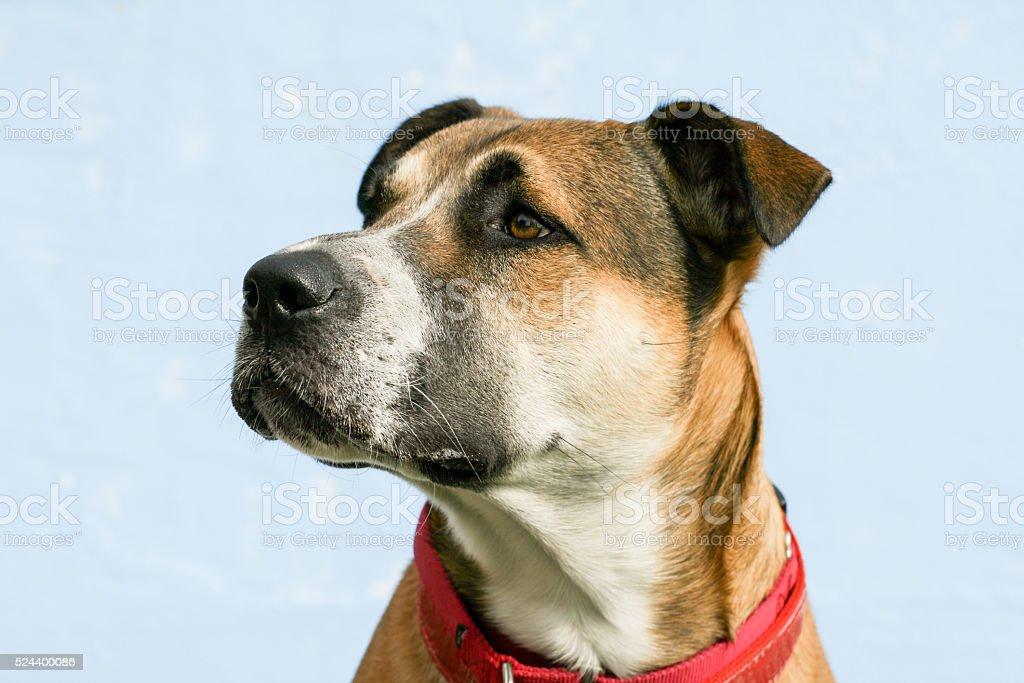 large mixed breed young dog headshot of shepherd pitbull stock photo