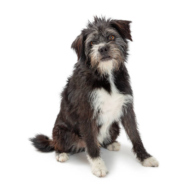 Large mixed terrier breed dog sitting picture id1152482625?b=1&k=6&m=1152482625&s=612x612&w=0&h=0twzvxyn9xl80q6du6nnm38b0ezluwg2aav6y2kzpu8=