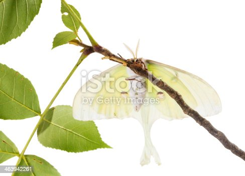 istock Large moth Saturn Moon on  branch, with  view of  abdomen 463942261