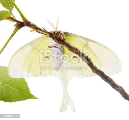 istock Large moth Saturn Moon on  branch, with  view of abdomen 463942267