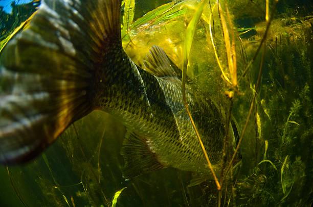 Large Mouth Bass Fish stock photo