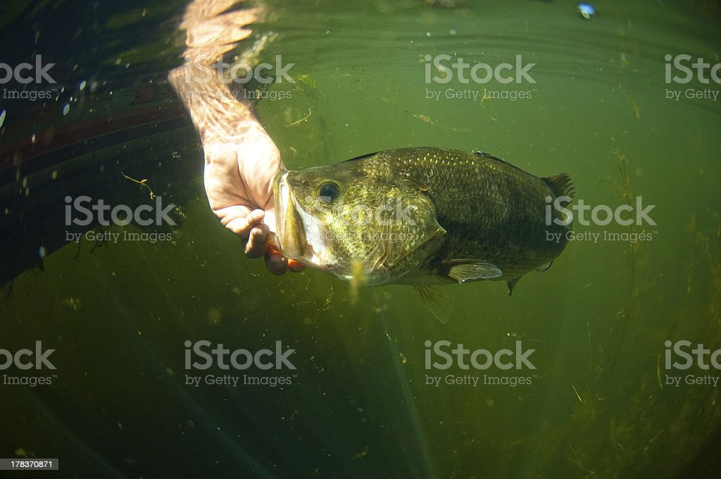 Large Mouth Bass Fish stock photo