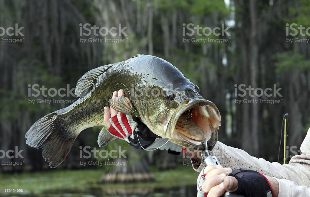 Large Mouth Bass stock photo