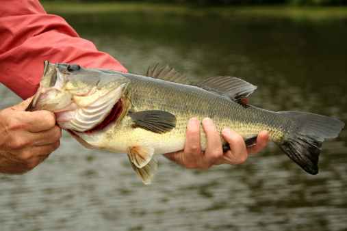 A large mouth bass being held up by the fisherman that caught him /Please see my other fishing photos