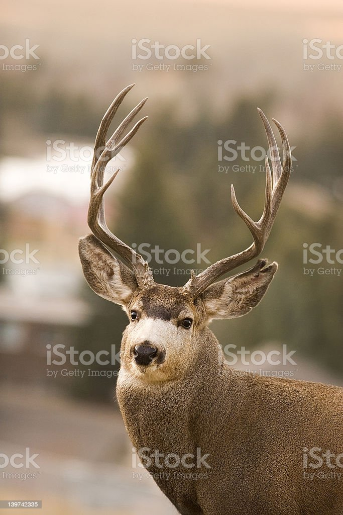 Large mule deer buck royalty-free stock photo