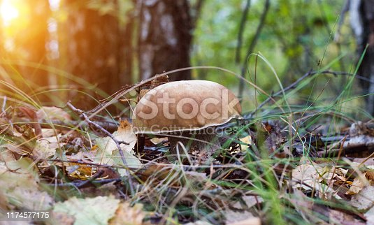 Large mushroom boletus in the forest on the background of the sun, boletus in the foliage of the forest, close-up, tubular mushroom