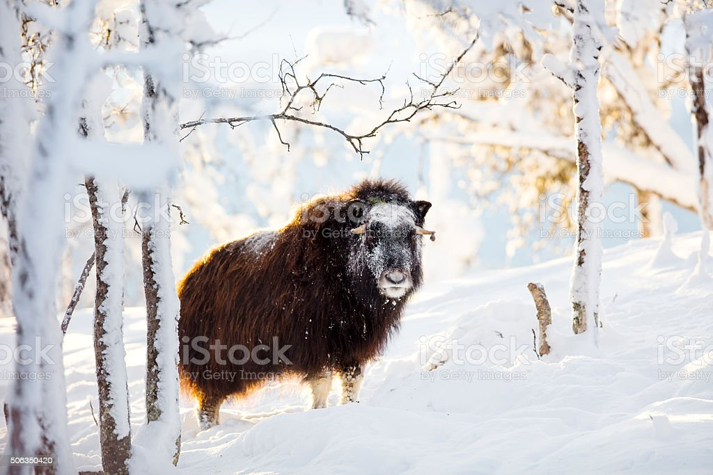 Large musk standing in the winter snow at sunset stock photo