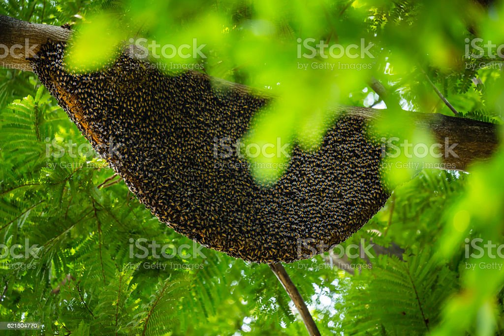 large natural beehive hanging on a tree photo libre de droits