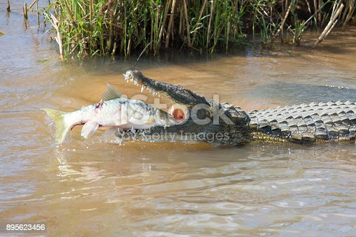istock Large nile crocodile eat a fish on the river bank 895623456