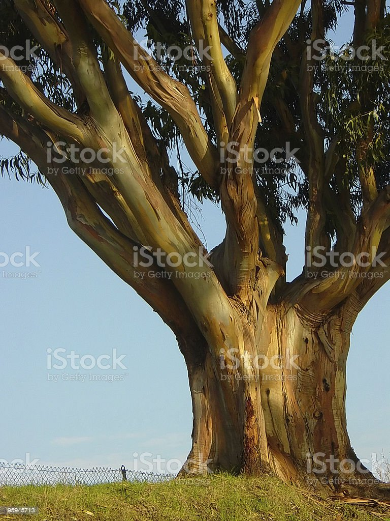 Large Noble Eucalyptus Tree royalty-free stock photo