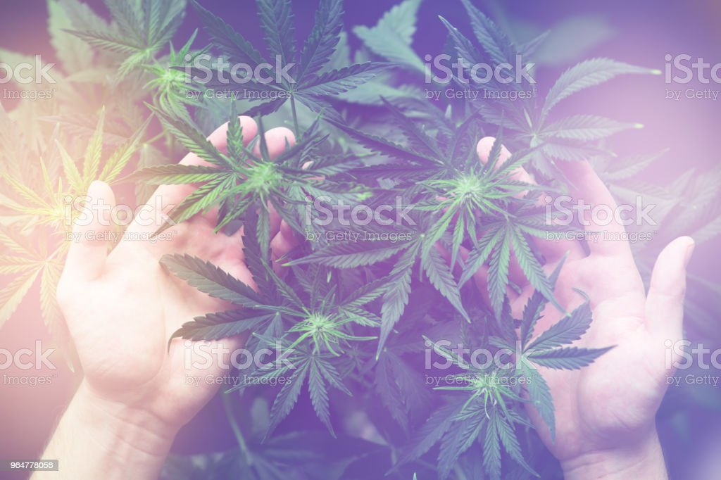 A large number of cannabis flowers in the hands of a man Light toning royalty-free stock photo