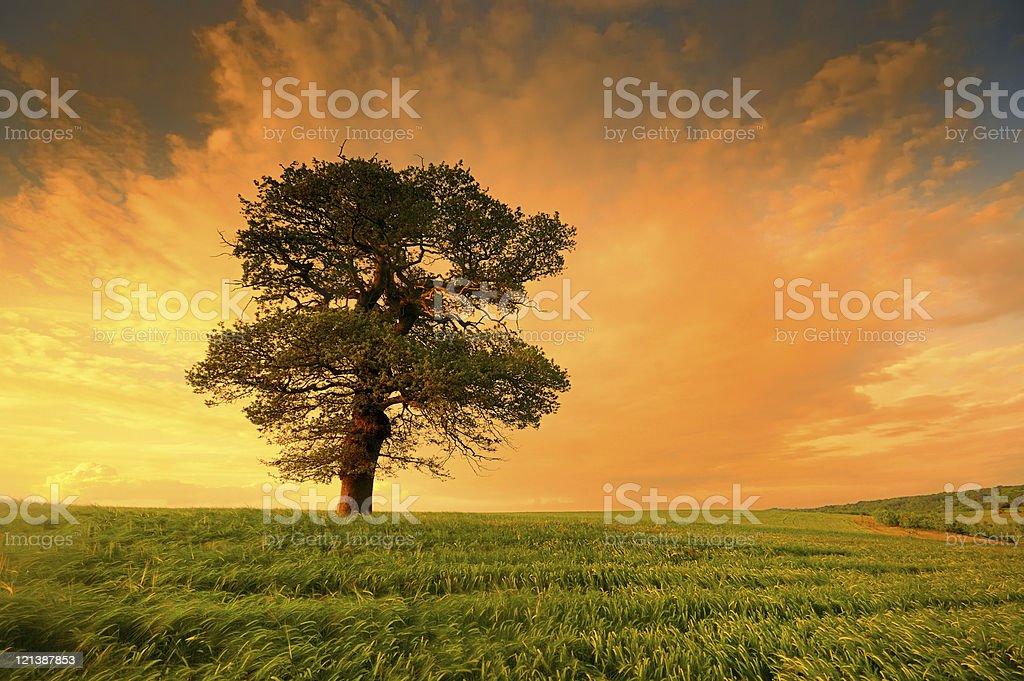Large Oak Tree at Sunset royalty-free stock photo