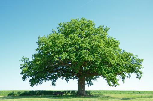 Large oak tree in a green barley field