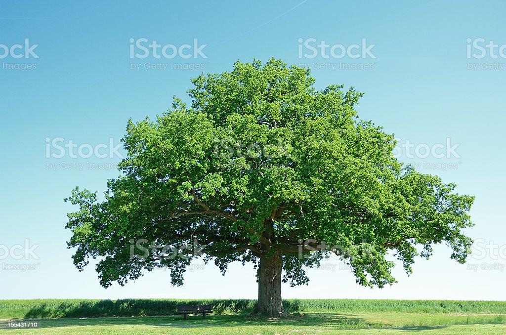 Large oak tree in a green barley field stock photo