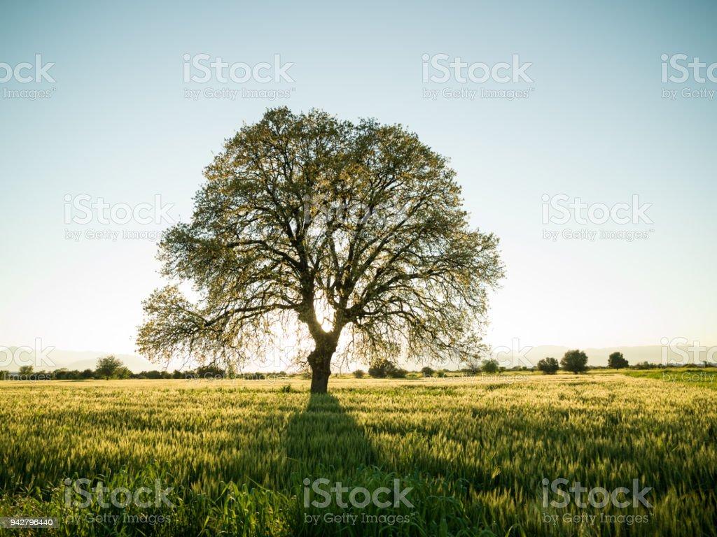 Large Oak Tree In Sunset stock photo