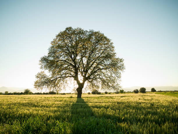 Large Oak Tree In Sunset stock photo