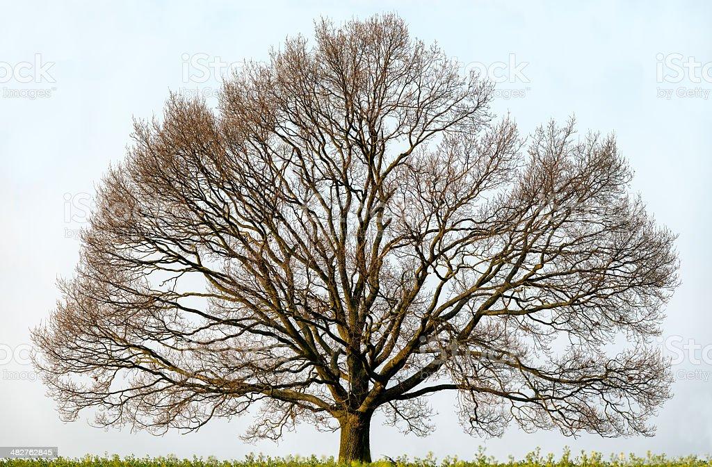 Albero di quercia isolato su un campo in primavera, ampia copertura. - foto stock