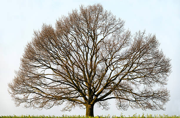 Large Oak Tree isolated on field in spring, expansive canopy. stock photo