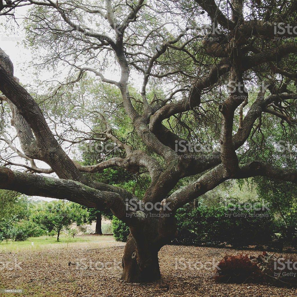 Large Oak Tree stock photo