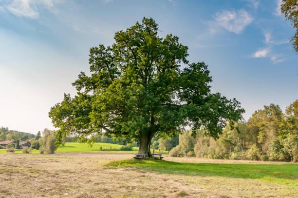 large oak tree - лесистая местность стоковые фото и изображения