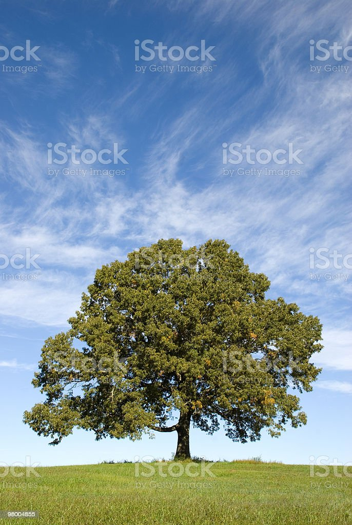 Large Oak Tree with Pretty Blue Sky royalty-free stock photo
