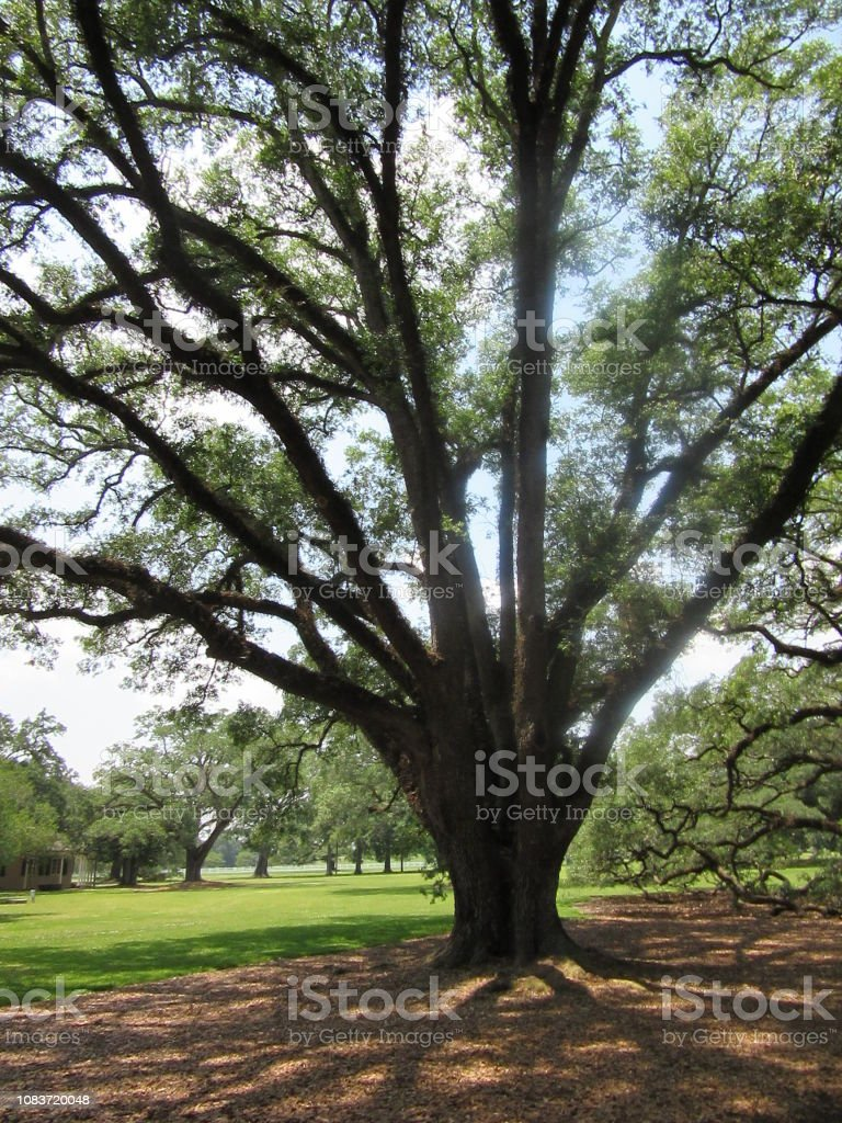Large Oak Tree with Sunlight in Background stock photo