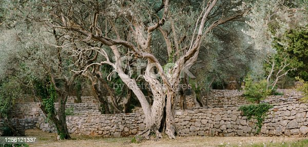 A large olive tree in an olive grove. Multi-storey stone embankments. A large tree with sprawling branches. . High quality photo