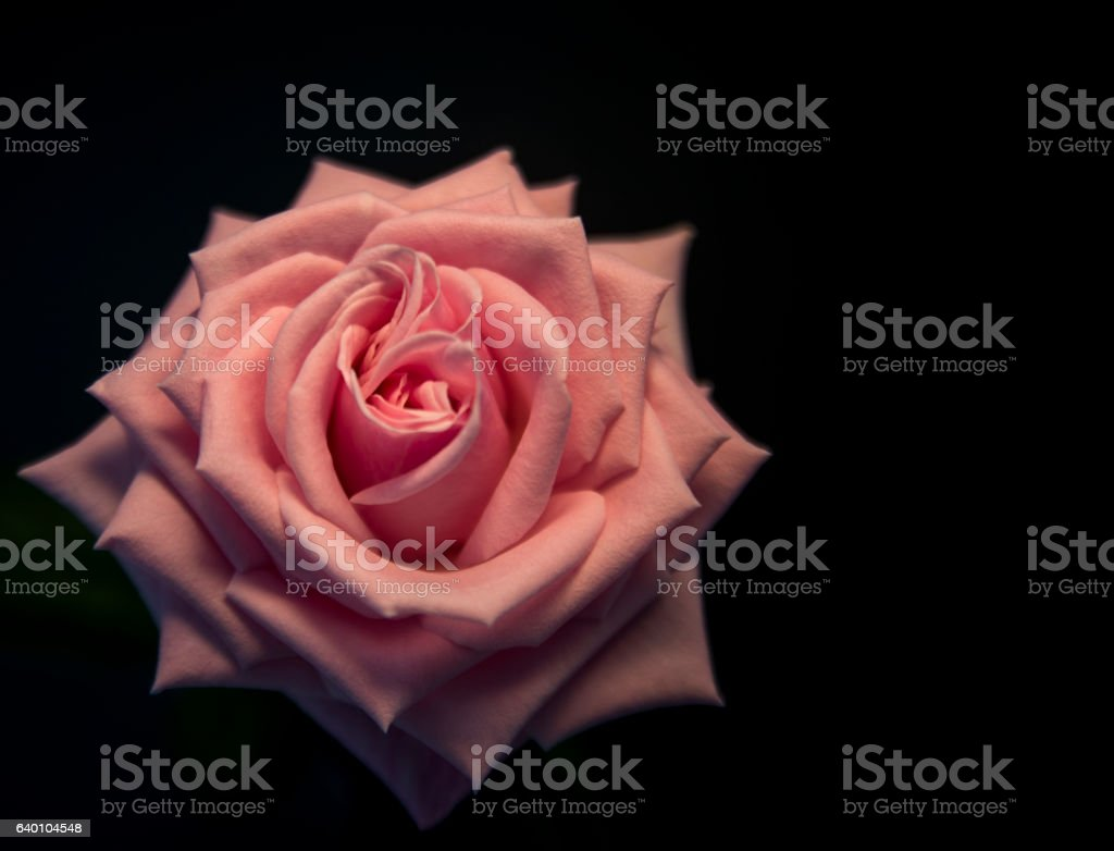 Large open Pink rose with a black background stock photo
