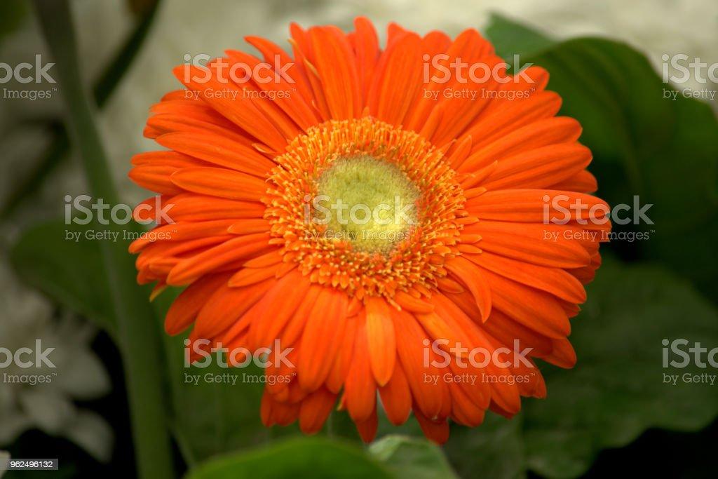 Large orange petal flower - Royalty-free Beauty Stock Photo