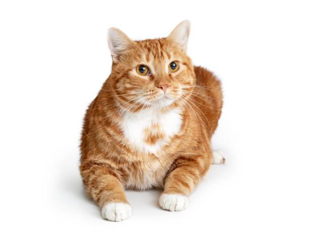 Large orange tabby cat lying down picture id1127455660?b=1&k=6&m=1127455660&s=612x612&w=0&h=bbl7aroenw3tzrxpj0s2 omezv5cfymmwtp8ikdahyy=