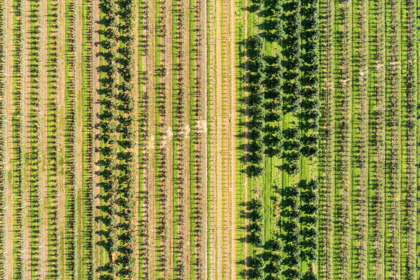 A large orchard, a sunny summer day. View from the top down stock photo