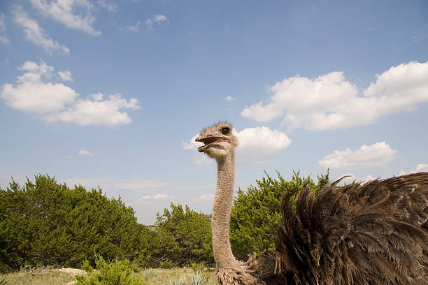 Large ostrich approaches in bright sky