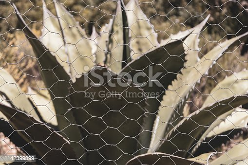 istock Large outdoors succulent protected by chicken wire 1142399899