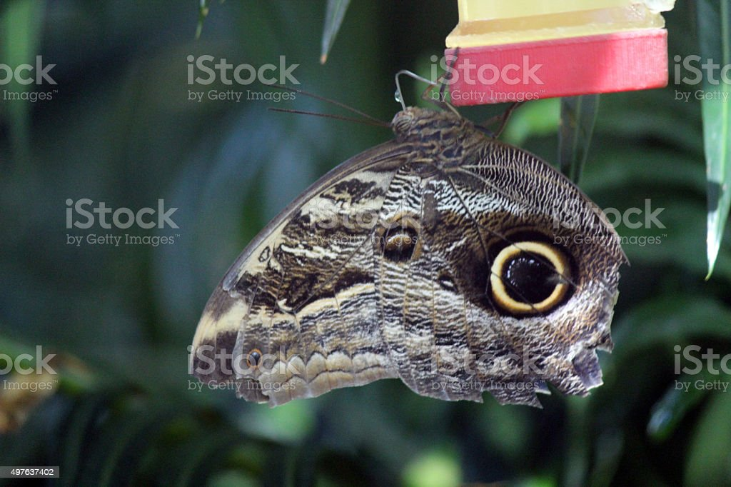 Large Owl Butterfly Perched on a Feeder stock photo