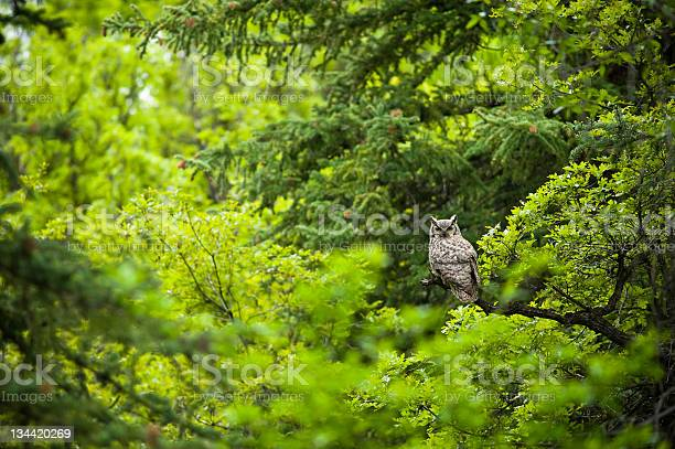 Large owl in green lush forest picture id134420269?b=1&k=6&m=134420269&s=612x612&h=6rb9ppxbestrm7f55vel3c dfofoapz1rspyo8gvmyu=