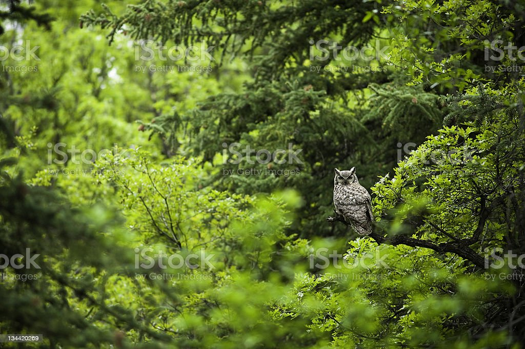 Large Owl in Green Lush Forest stock photo