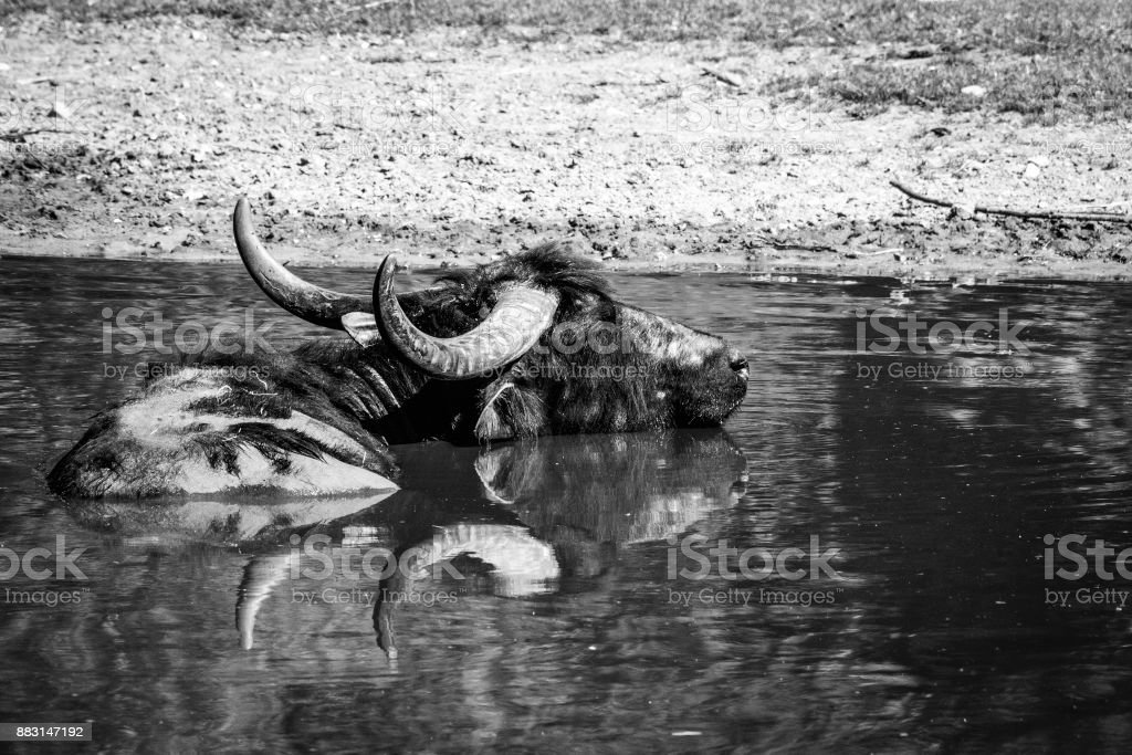 Large ox in a watering hole on the savannah stock photo