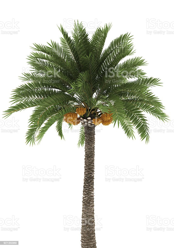 A large palm tree isolated on white stock photo