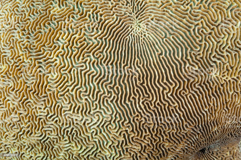 Large Part of Brain Coral Labyrinth, Raja Ampat, Indonesia stock photo
