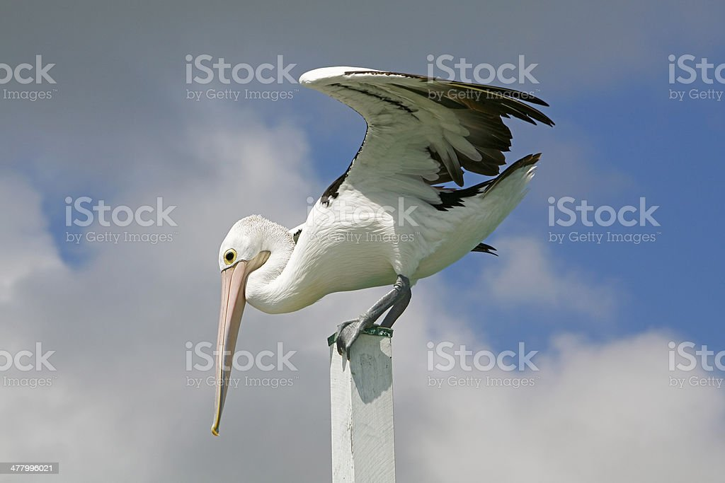 Large pelican landing awkwardly on top of small pole royalty-free stock photo