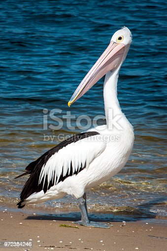Large Pelican on the beach near water