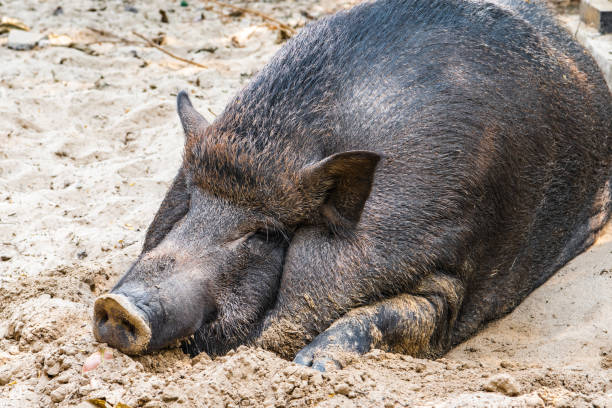 Cтоковое фото A large pig basks in a pile of sand