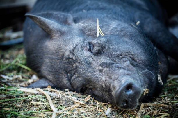 Large pig lying on a bed of straw stock photo