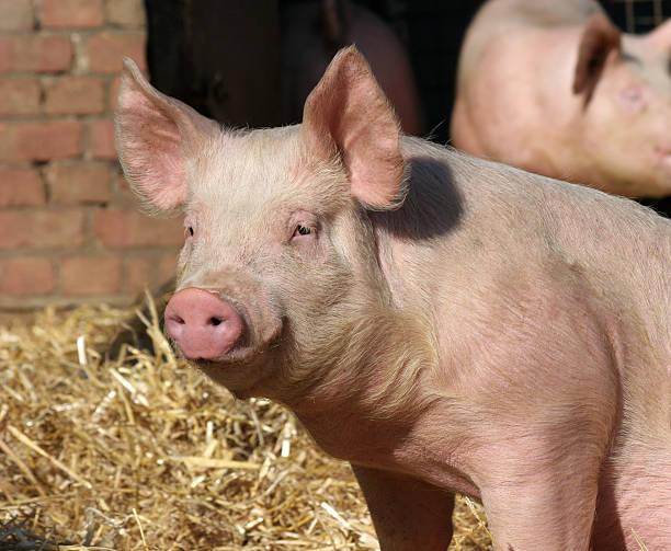eb white death of a pig essay